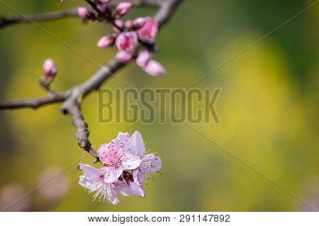 Peach Blossom Tree Flowers Close-up In Spring In Longquanyi Mountains, Chengdu, China