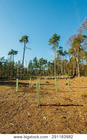 Newly Planted Young Trees ín The Forest. The Young Trees Are Equipped With A Supporting Stick And A