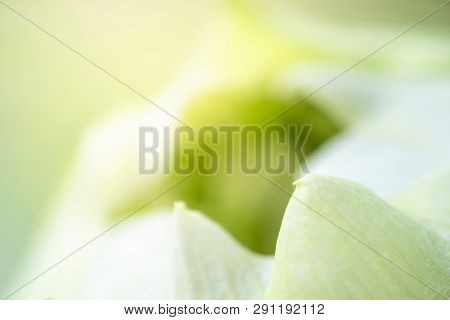 Nature : Closeup Of White Petal Of Lotus Using For Background And Texture. Copy Space Concept. -imag
