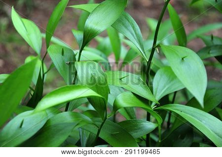 Leaves Of A Butcher´s Broom Plant With Young Shoots Of Cladodes In Springtime