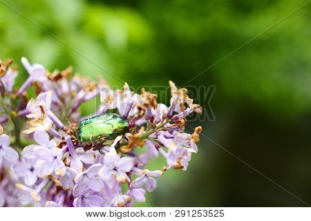 rose chafer or goldsmith beetle in lilac flowers poster