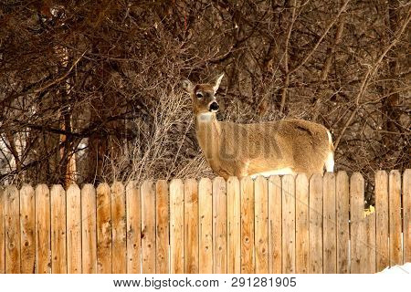 A White Tail Deer (doe) Facing Me While Standing Behind A Picket Fence, With Trees In The Background