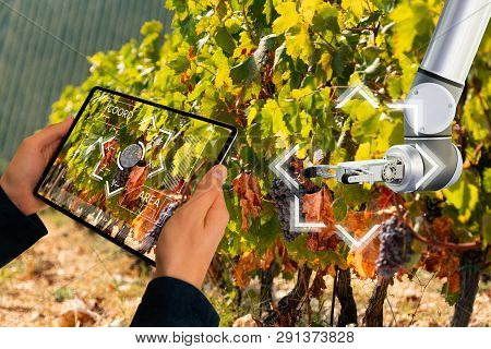 Farmer Uses A Digital Tablet To Control Robot On A Vineyard. Smart Farming Concept.