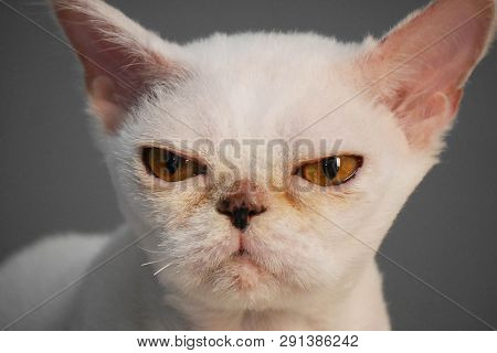 Portrait Of A Strange And Evil, Angry, White Cat With Strange Yellow Eyes On A Gray Background. Cat