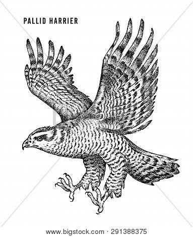 Pallid Harrier. Wild Forest Bird Of Prey. Hand Drawn Sketch Graphic Style.  Fashion Patch. Print For
