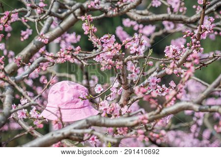 Pink Bucket Hat On A Peach Blossom Tree In Spring In Longquanyi Mountains, Chengdu, China