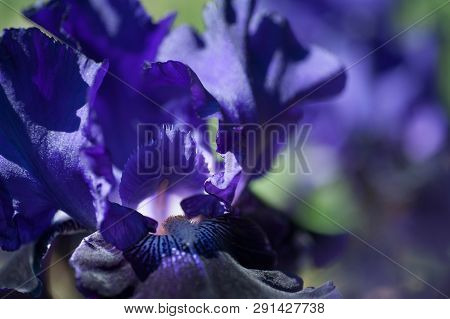 Bitone Purple Blue Tall Bearded Iris Oklahoma Crude Macro, Selective Focus From The Largest European