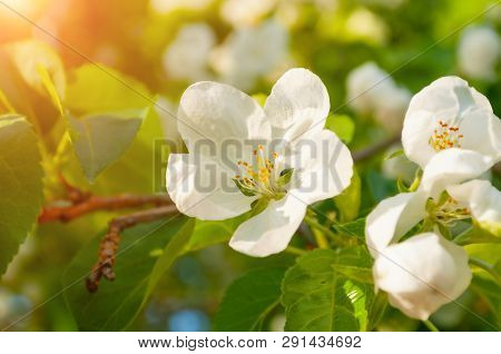 Spring white flowers of apple tree blooming in the spring garden. Natural spring flower landscape, closeup of apple flowers in spring bloom