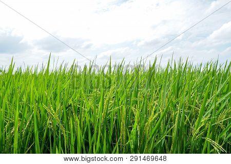 Asian Fresh Organic Jasmine Rice In The Green Paddy Rice Field On Beautiful Sunlight And Blue Sky Ba