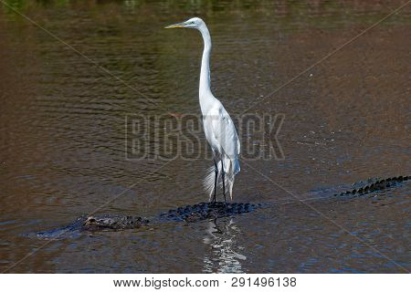 Great White Egret Riding On An Alligator In Gatorland Orlando Florida