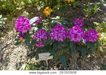 Blooming Rhododendron Of The Kazimierz Odnowiciel Royal Violet Variety In The Botanical Garden. May,