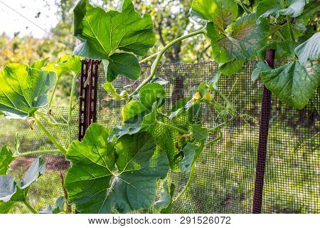 Pumpkin Leaves Growing On The Fence In The Garden