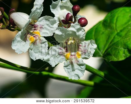 White Flowers On Decorative Tree Catalpa At City Garden Close-up, Selective Focus, Shallow Dof