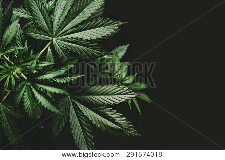 Background Green On Black Background, Marijuana Vegetation Plants, Growing Cannabis Indica, Hemp Cbd