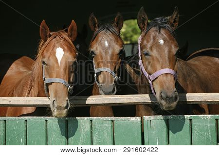 Closeup Face Of Horses In Stable.the Horse Is Looking Out From Behind Green Wooden Fence Of The Barn