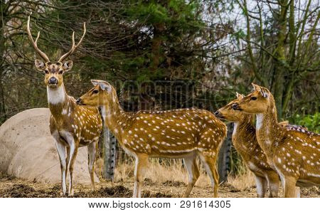 Family Of Axis Deers Together, One Stag Leading The Herd Of Does, Animal From The Forests Of India A
