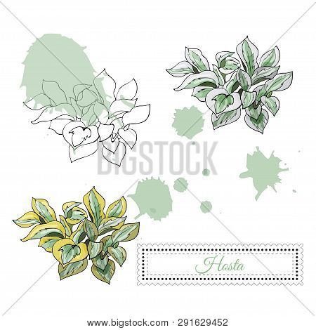 Set With Monochrome And Colored Sketch  Of Hosta Flowers  And Abstract Spots. Hand Drawn Ink And Col