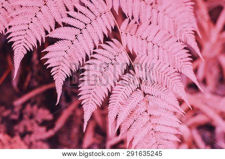 A Part Of Fern Leaf, Purple Color, Toned Image