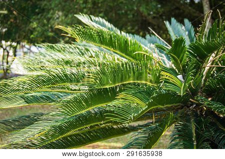 Green Cycad Plant In The Garden Park / Cobia Tree