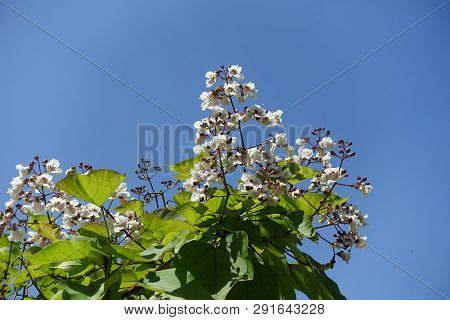 Branch Of Catalpa Tree With White Flowers Against Blue Sky