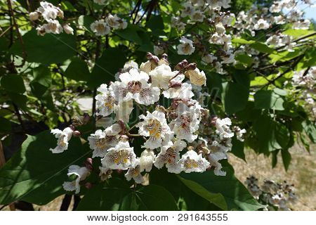 Broad Panicle Of White Flowers Of Catalpa