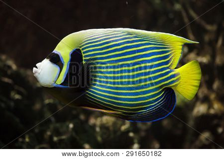 Emperor angelfish (Pomacanthus imperator). Tropical fish.