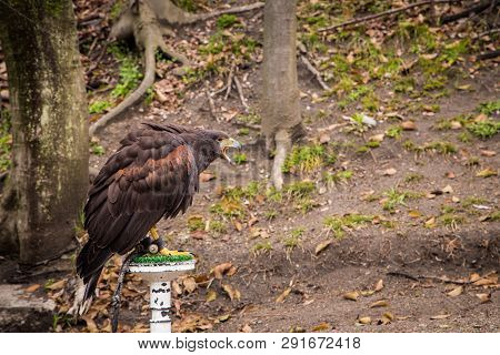Red Tail Hawk In The Park.