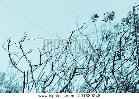 Row Of Trees With Almost Bare Branches, With Blue Background, In San Francisco, California