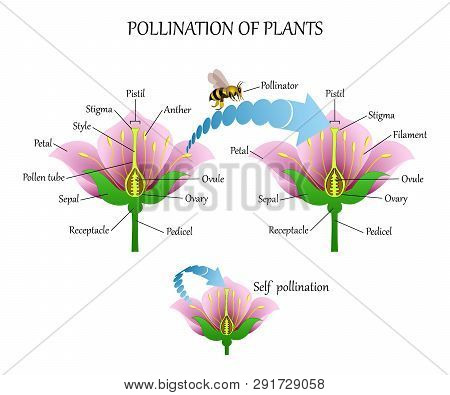 Pollinating Plants With Insects And Self-pollination, Flower Anatomy Education Diagram, Botanical Bi