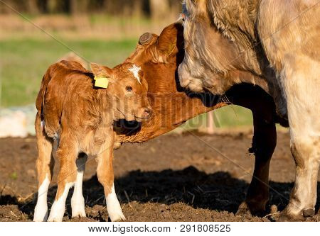 Mother Licks Newly Born Calf In The Yard In Early Spring