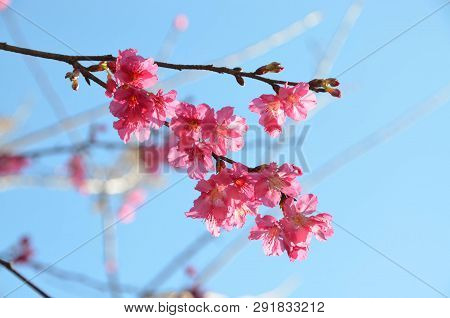 Beautiful Pink Sakura  Or Cherry Blossom Against Blue Sky Background, Chiang Mai, Thailand