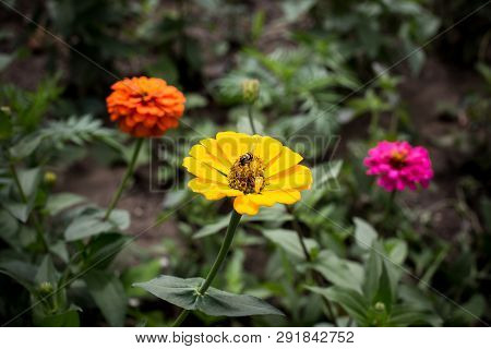 Yellow Daisy With A Bug On Its Pollen At Pa Hin Ngam National Park - Chaiyaphum, Thailand
