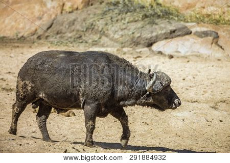 African Buffalo Bull Walking In Kruger National Park, South Africa ; Specie Syncerus Caffer Family O