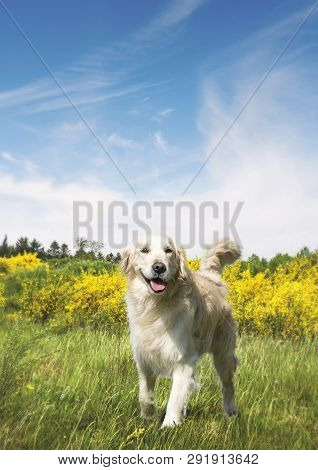 Cute Dog On A Meadow In The Summer With Yellow Bushes Under A Blue Sky