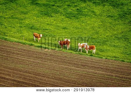 Cattle On A Green Field In A Rural Environment Seen From Above