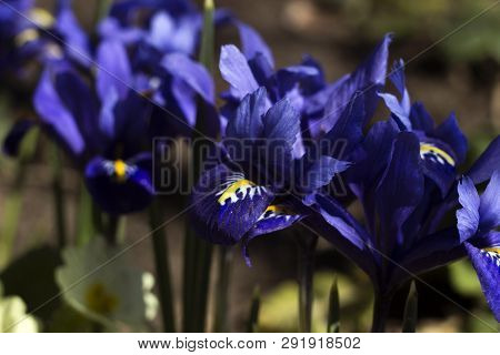 Tiny Violet Blue Irises - Pygmy Spring Flowers Blossoming In The Garden. Iris Reticulata Or Dwarf Ir