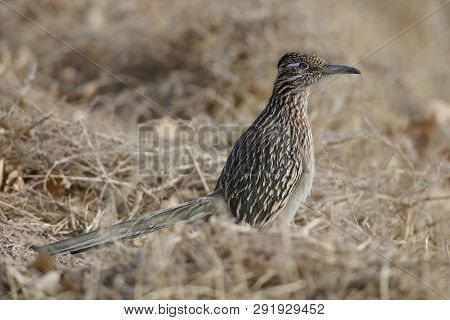 Greater Roadrunner (Geococcyx californianus) - Bosque del Apache National Wildlife Refuge, New Mexico poster