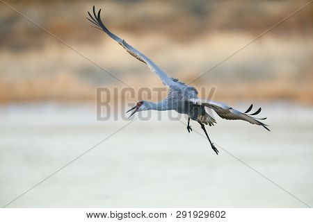 Sandhill Crane (Grus canadensis) approaching for a landing - Bosque del Apache National Wildlife Refuge, New Mexico poster