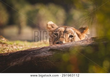 Female Lion Poking Her Head Above A Log