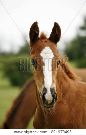 Thoroughbred Young Horse Posing On The Green Meadow Summertime. Portrait Of A Purebred Young Horse O