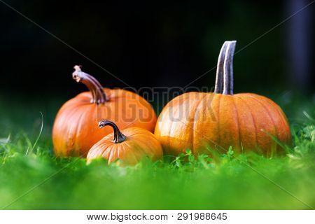 Orange pumpkins in garden grass. Halloween and autumn background