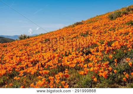 Giant Field Of Poppies In Antelope Valley Poppy Reserve In California During The Superbloom