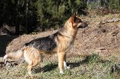 Profile of an alert young Alsation or German Shepherd dog standing in a clearing in a forest. poster
