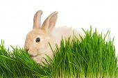 Portrait of adorable rabbit in green grass on white background poster