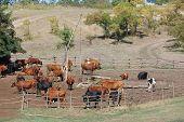 Herd of cows in cattle-pen.Ukraine poster
