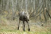 Surprised young moose on Tony Knowles Coastal Trail in Anchorage Alaska poster