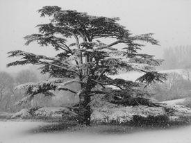 Cedar Tree In Winter