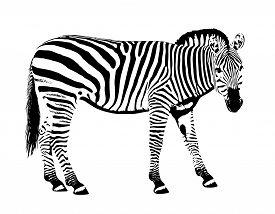 Plain Zebra One Animal On White Background Stencil Mask Vector Illustration