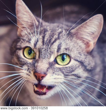 A Hungry Cat Asks For Food And Says Meow, Close-up, Lifestyle