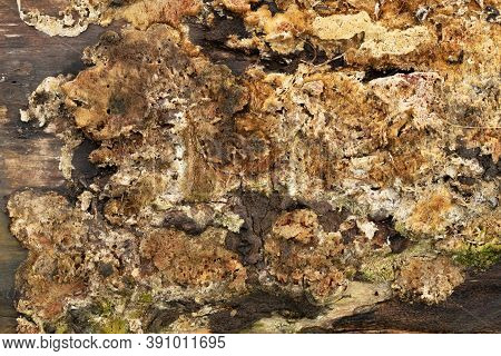 Brown Fungi Mold Growing On Rotten Wooden Tree Log